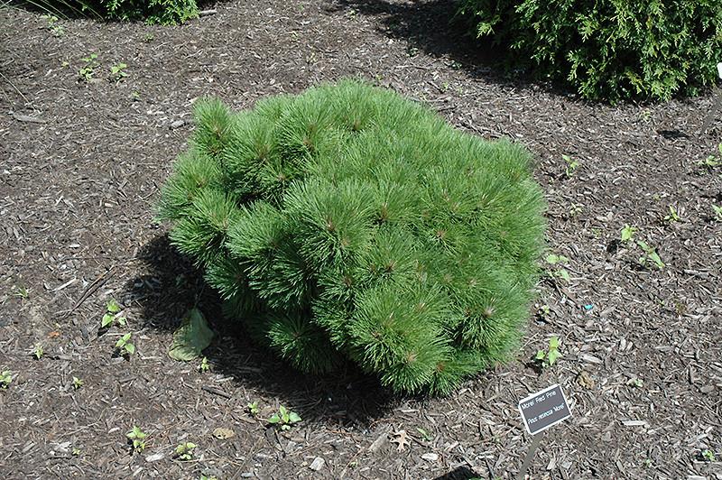Pine morel