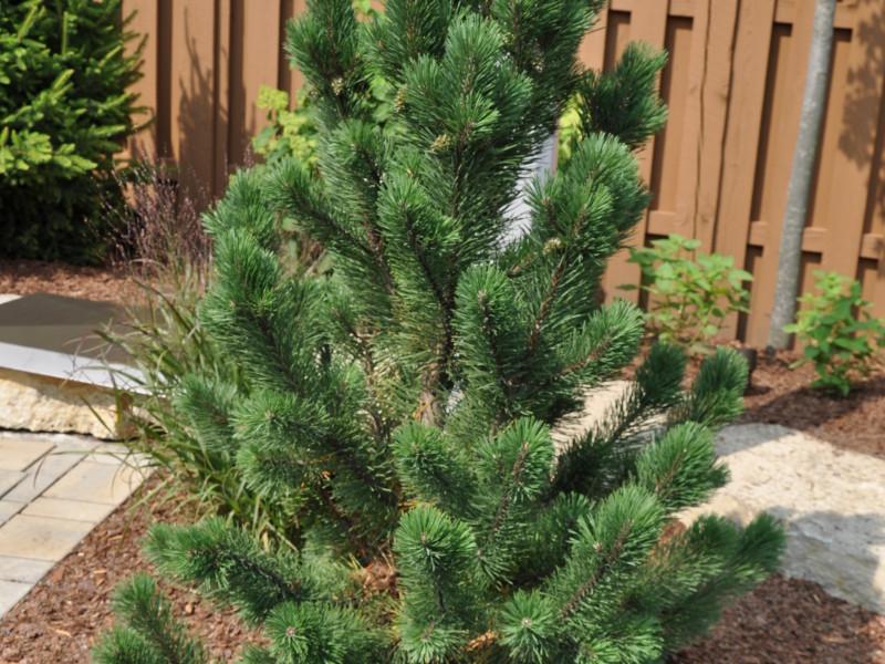 Pine- tannenbaum