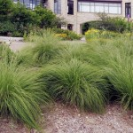 Prairie-Dropseed-Grass