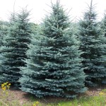 Spruce Colorado Blue Spruce