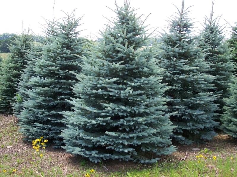 Spruce Colorado Blue Spruce