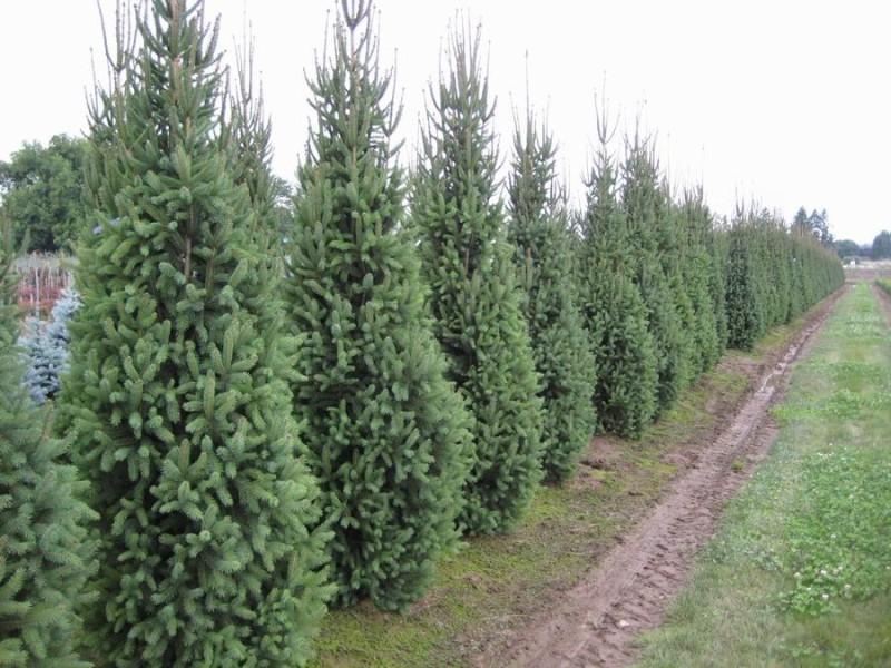 Spruce Cupressina