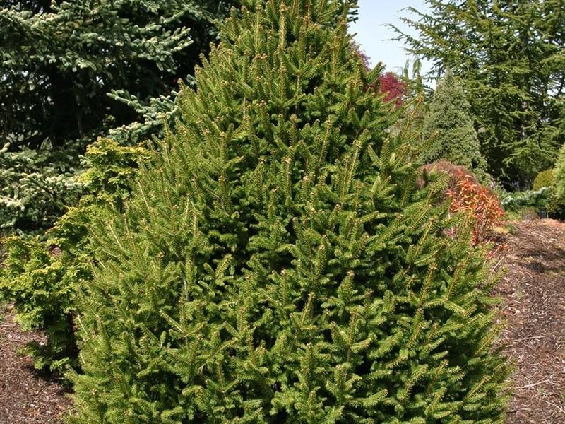 Spruce Sherwood