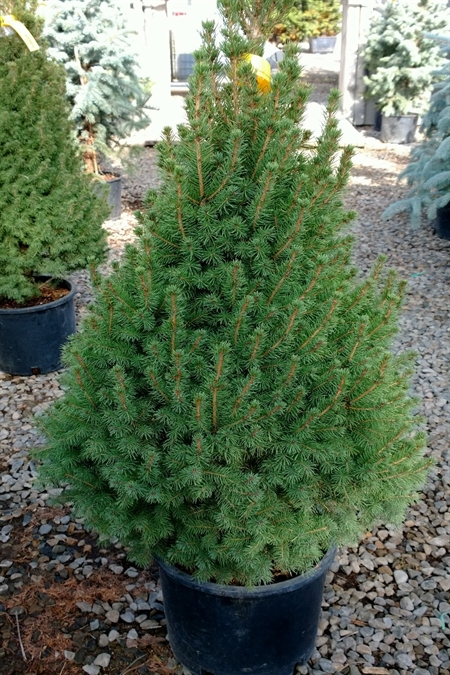 Groundwrx spruce dwarf alberta for Small slow growing evergreen trees