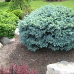 Spruce dwarf globe