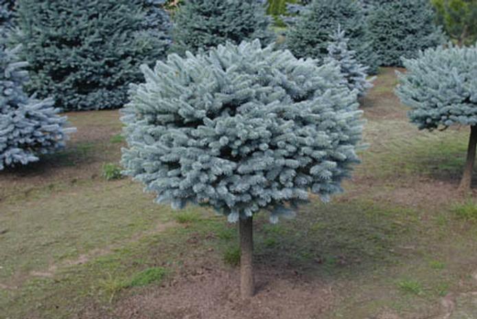 Spruce dwarf globe on a stand