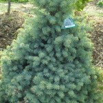 Spruce sesters dwarf