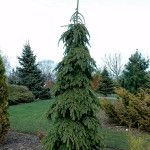 Spruce white weeping