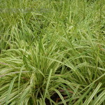 Variegated Moor Grass