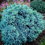 juniper blue star