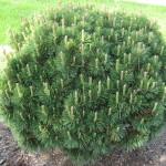 pine mugho dwarf
