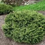 spruce Dwarf Norway Spruce
