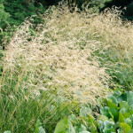 Tufted hair grass (Deschampsia cespitosa)