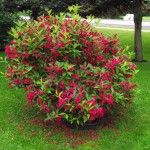 weigela- red prince
